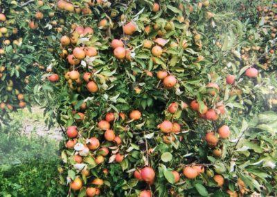 Saftige Äpfel in diversen Sorten