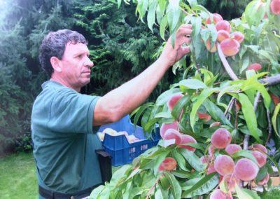 Pfirsiche - duftend frisch vom Baum